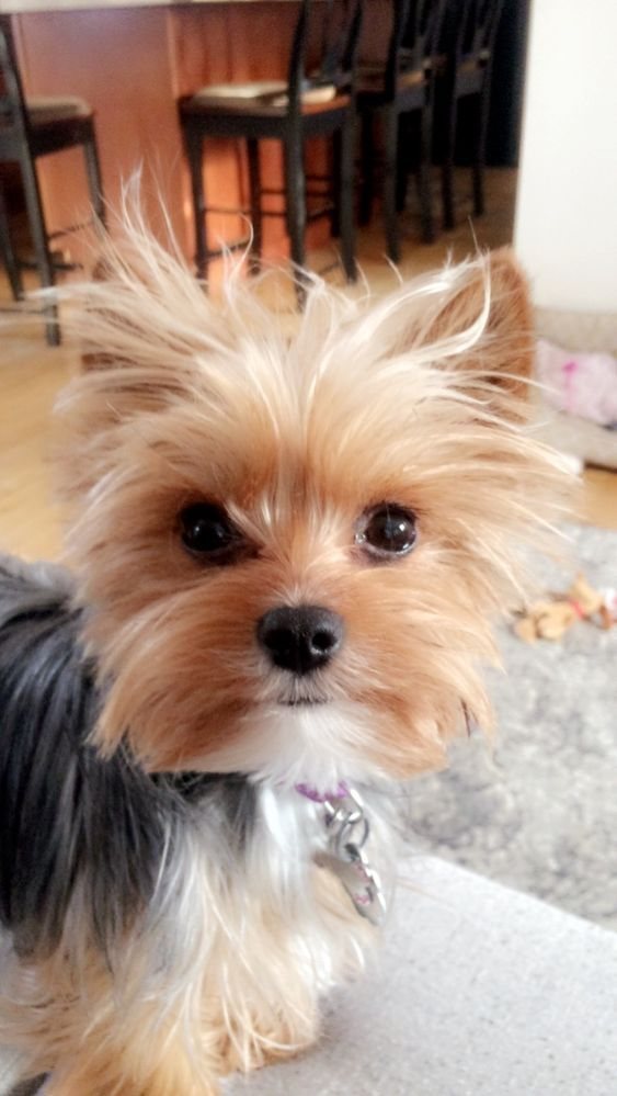 Find Out If You Re Ready To Adopt A Yorkshire Terrier Puppy Yorkshireterrier Yorkshire Terrier Puppies Yorkie Puppy Yorkie Terrier