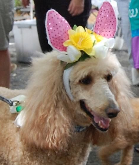Awww Florida Poodle Rescue Spring Picnic Standard Poodle