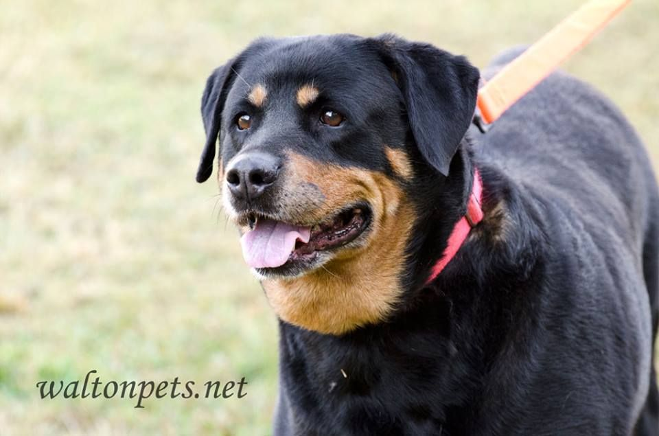 10 14 2017 Ga We Have A Sweet Rottie Named Cassie She Had