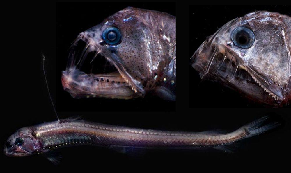 глубоководные рыбы марианской впадины фото магазин