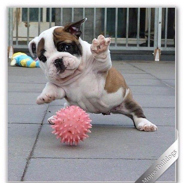 Got It Cute Animals Bulldog Puppies Cute Dogs