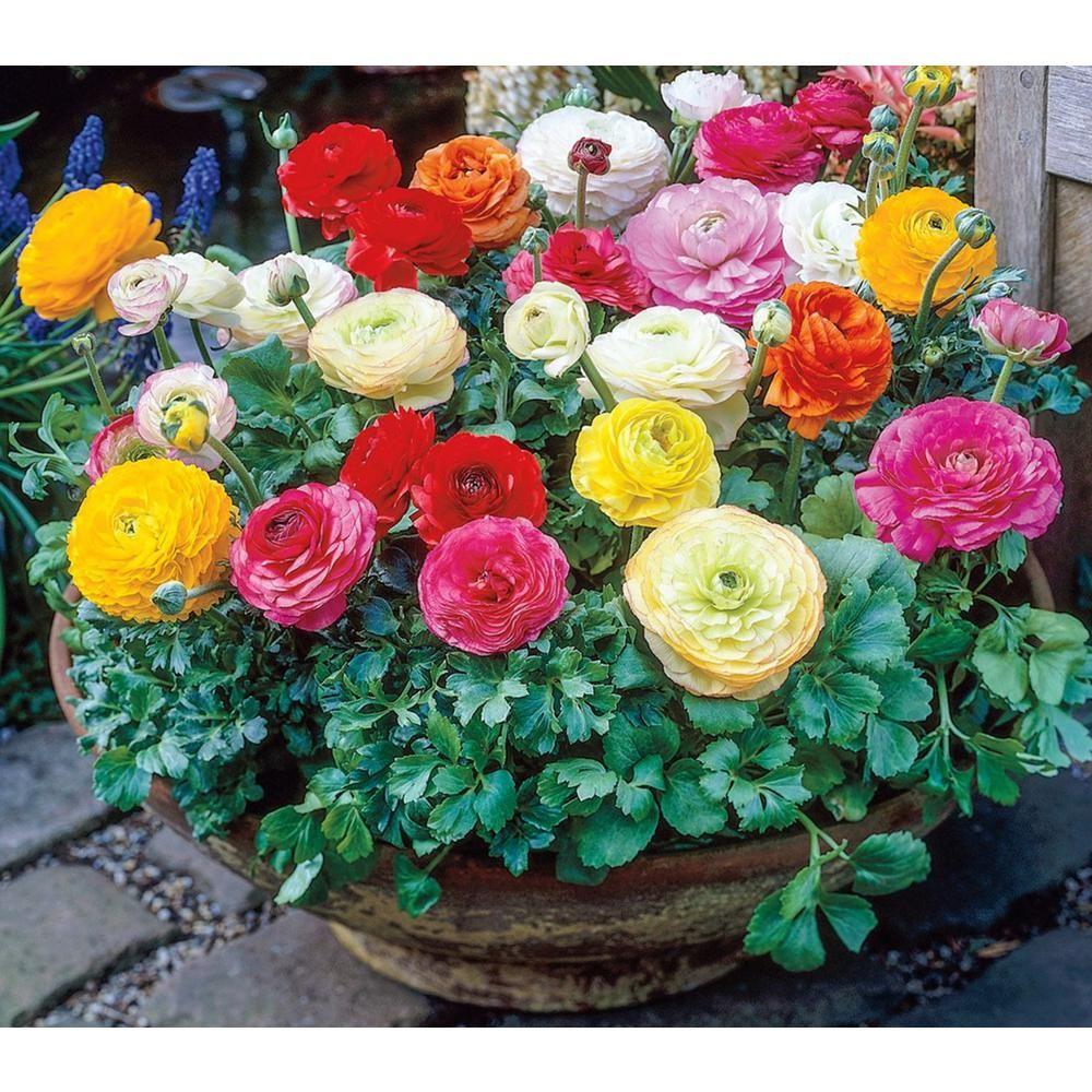 Breck S Ranunculus Mix Persian Buttercup Bulbs 10 Pack 66876 The Home Depot Bulb Flowers Ranunculus Garden Rose Like Flowers