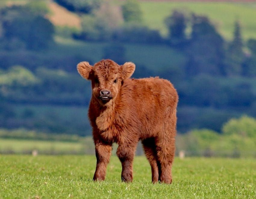 A Hug From A Fluffy Baby Highland Cow Is The Answer To All Of Life S Problems Cute Baby Cow Fluffy Cows Baby Highland Cow