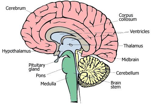 regions of the brain | brainlovers | pinterest | brain, Human Body