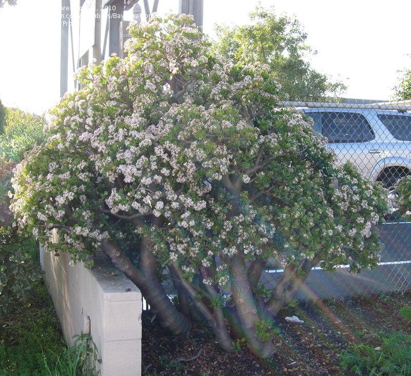 Crassula ovata for sale 60 of dollar plant jade Cactus porte bonheur