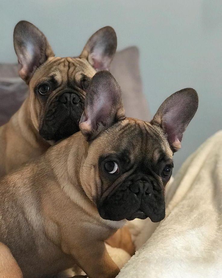 Ernie & Rocky, French Bulldog Puppies ️ bulldogpuppies