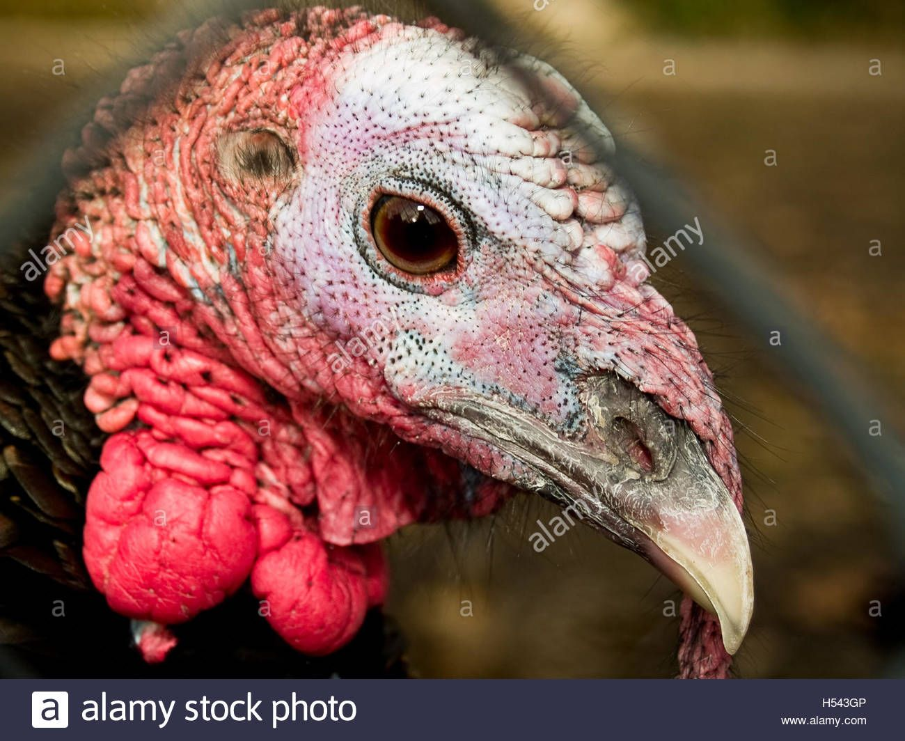 If anybody is looking for me...I'm not here. Shh! Download this stock image: Turkey Close up - H543GP from Alamy's library of millions of high resolution stock photos, illustrations and vectors.