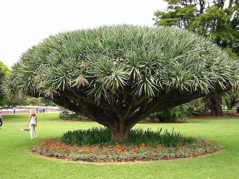 Royal Botanic Gardens Sydney Natureza, Arvores