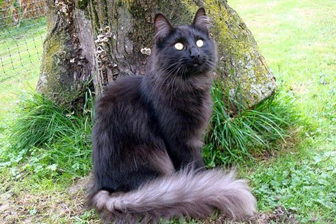 Black Smoked Color Wow Norwegian Forest Cat Norwegian Forest Norwegian Forest Cat Forest Cat