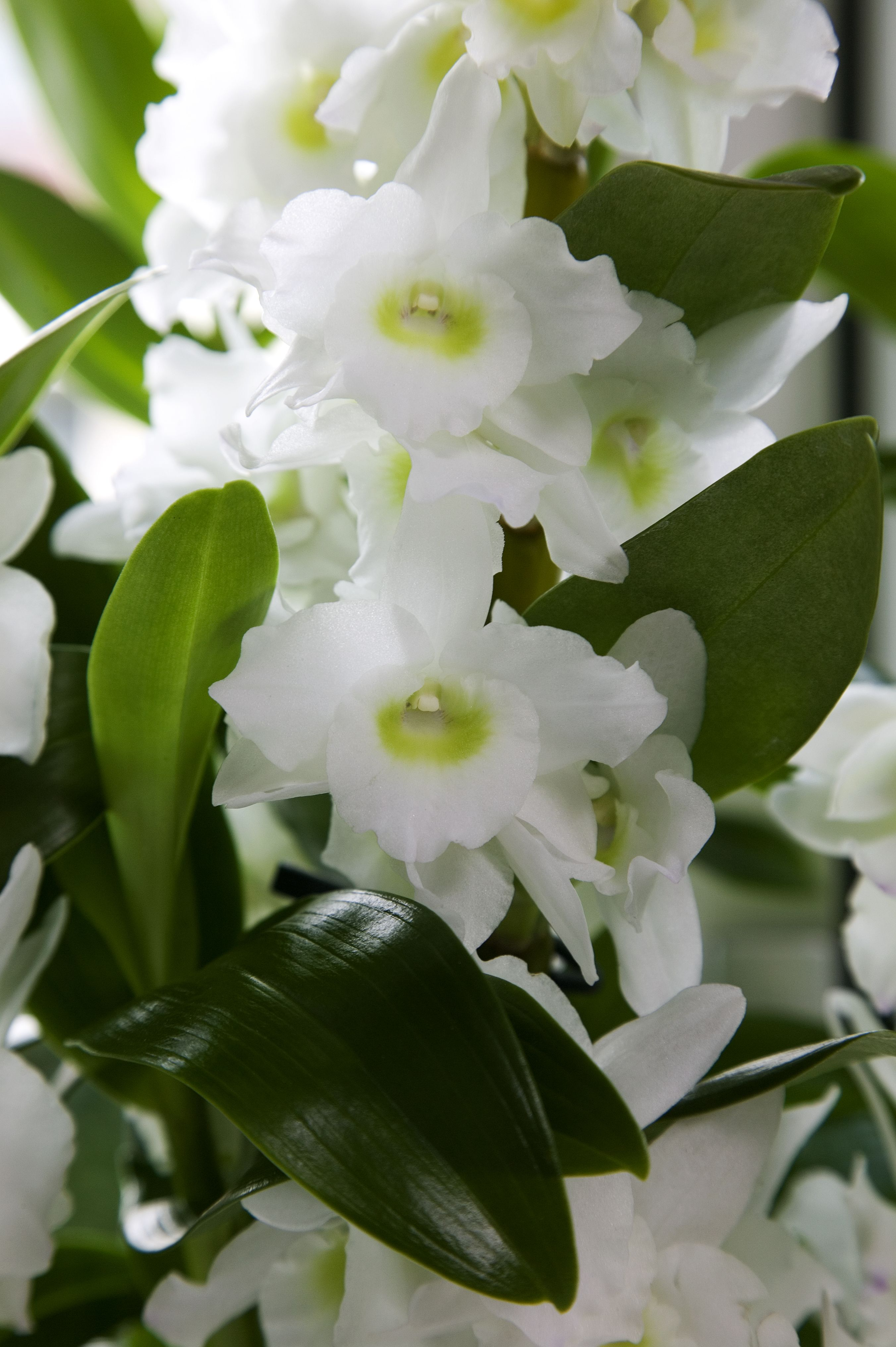 Are you familiar with the dendrobium nobilé also known as the