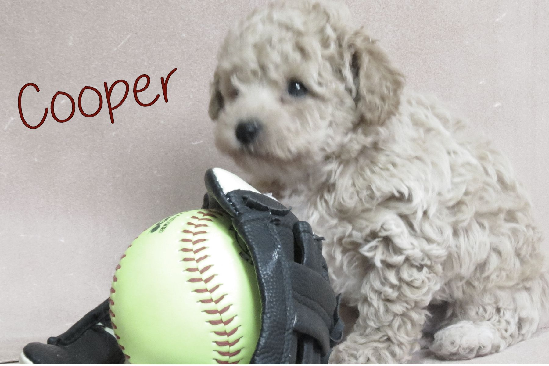 Cooper Male Shihpoo Puppy From Ewing Illinois Find Cute Mixed