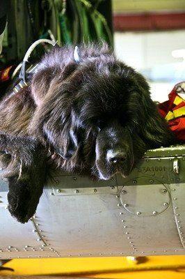 Beautiful Newfoundland #Newfie Puppy Dog #Puppies #Dogs