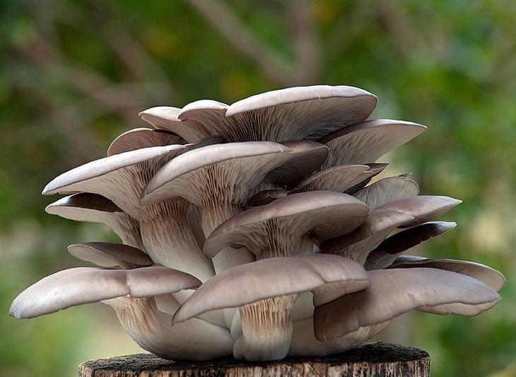грибы вешенки домашнее
