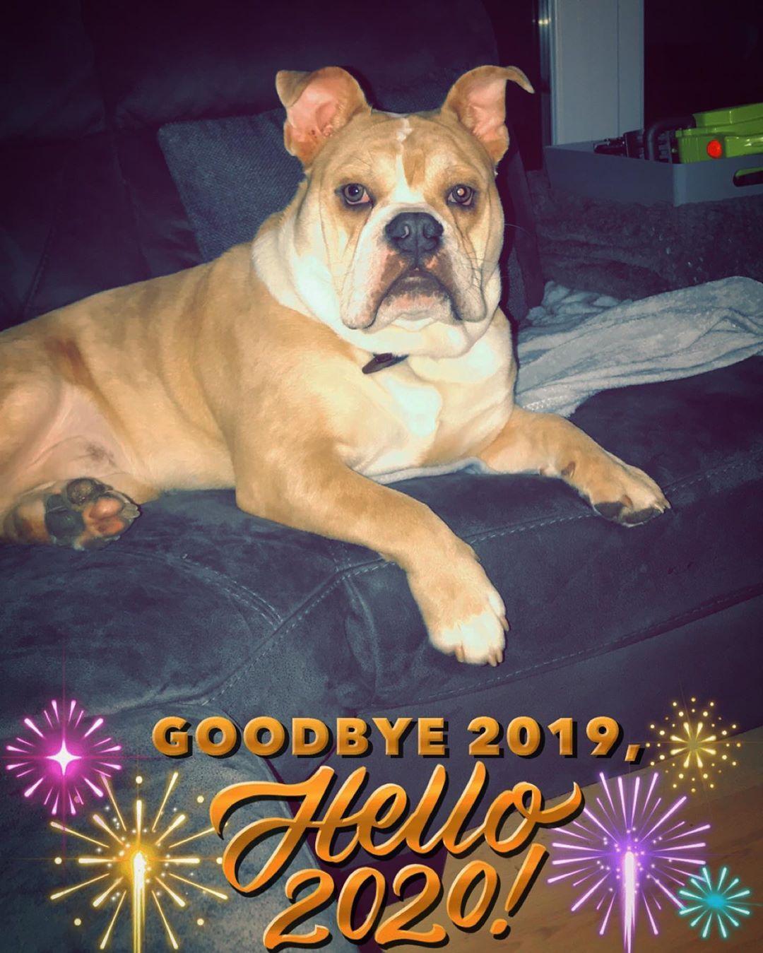 Happy New Year From Mr Happy Bulldog Dog Dogsofinstagram Puppy Frenchbulldog Dogs Frenchie Bulldogsofinstag Bulldog Dogs French Bulldog