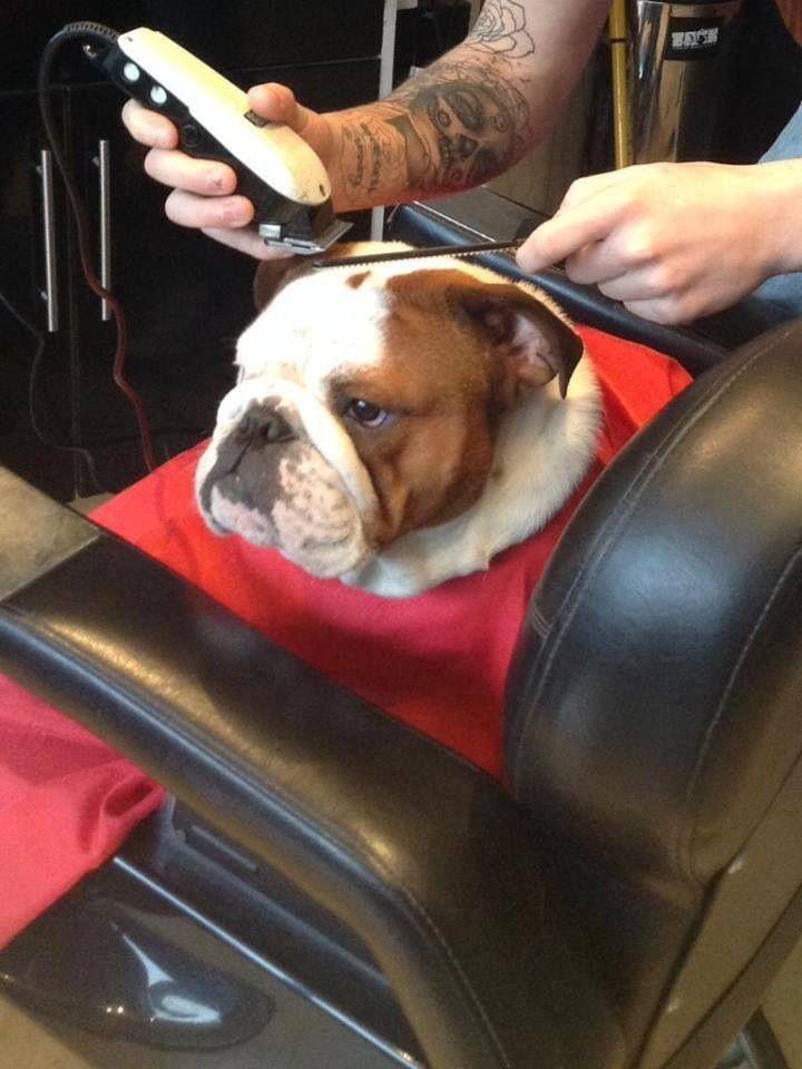 At The Hair Salon Bulldog Puppies Bulldog Funny Puppies And