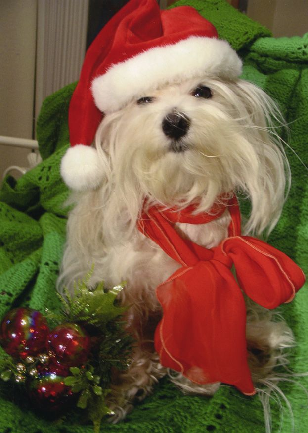Maltese Dog With Santa Hat Christmas Dog Merry Christmas