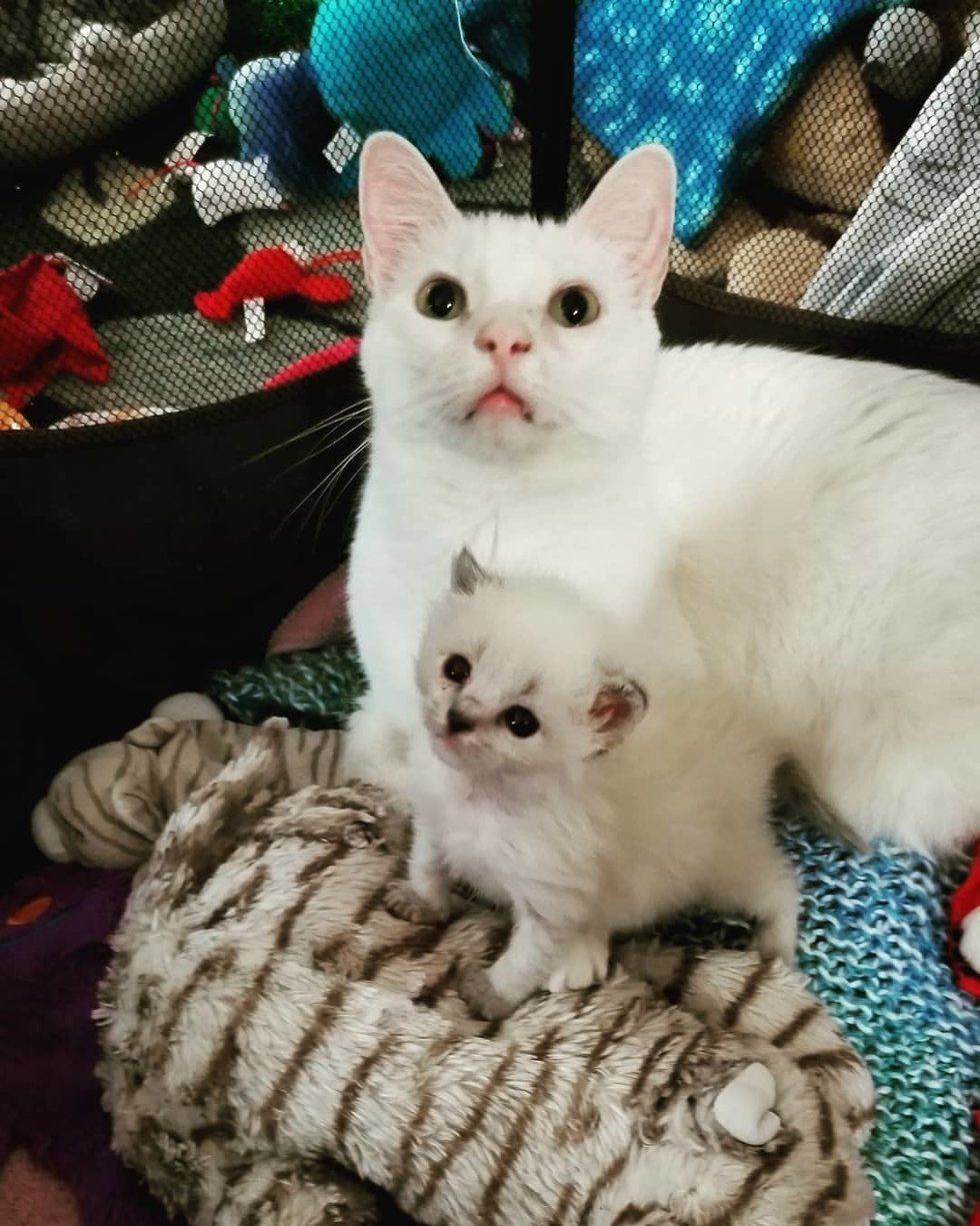 Cat Becomes Surrogate Dad To Newborn Kitten And Helps Save Her