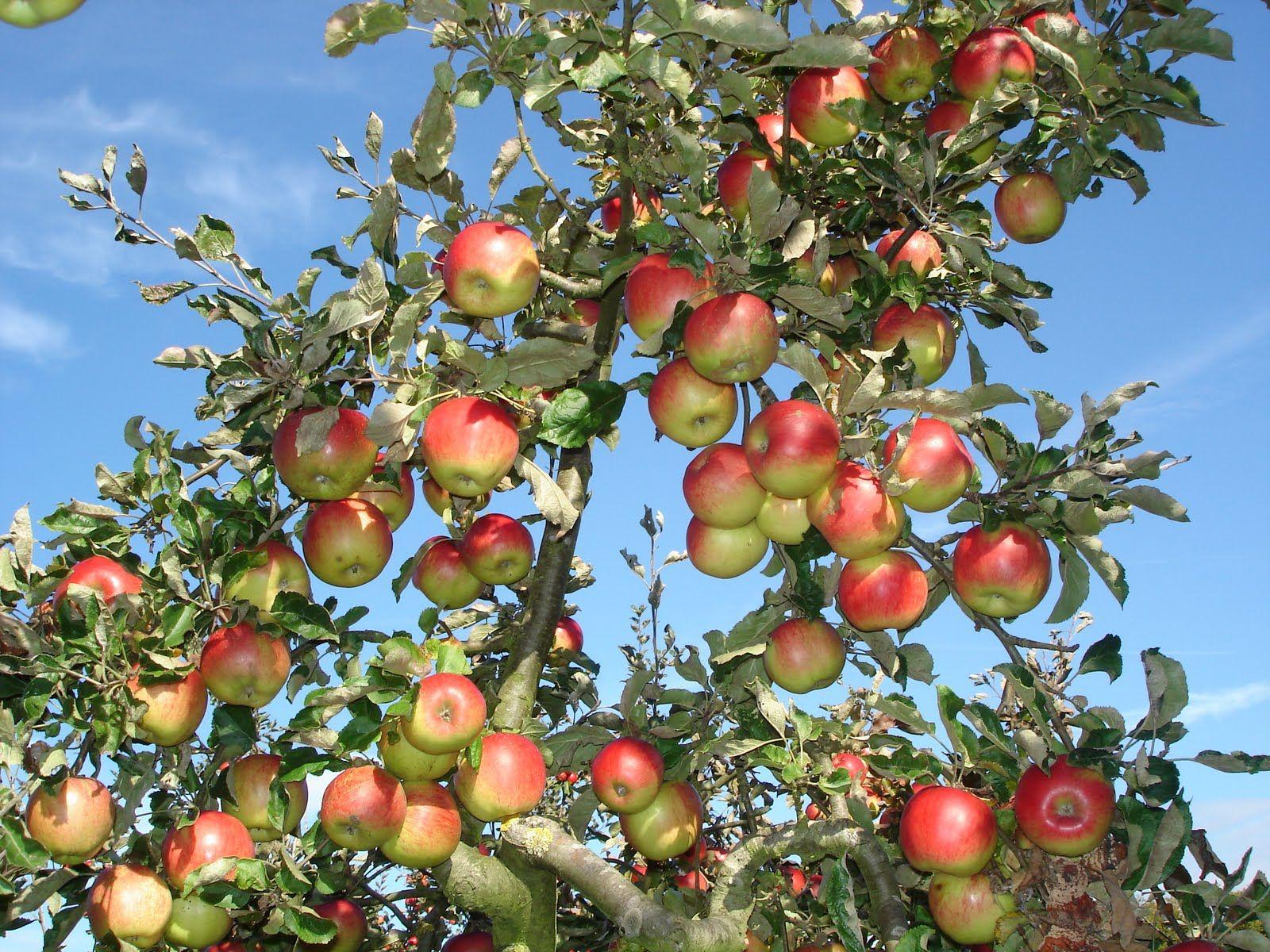 green apple tree wallpaper. apple tree with green apples hd desktop wallpaper high e