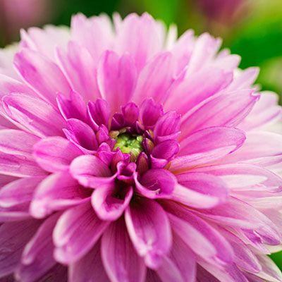 Drool Worthy Dahlia Varieties For Every Garden And Bouquet Sunset Plants Dahlia Flower Dahlia
