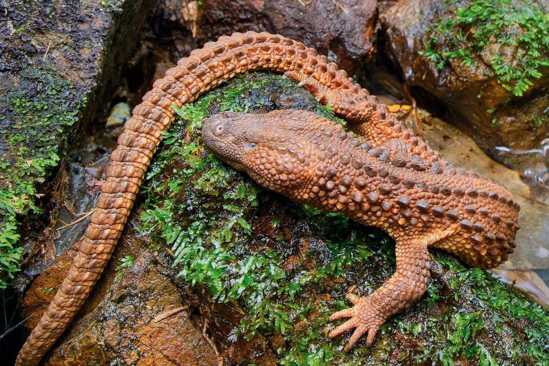 Lanthanotus borneensis, Earless monitor lizard Monitor
