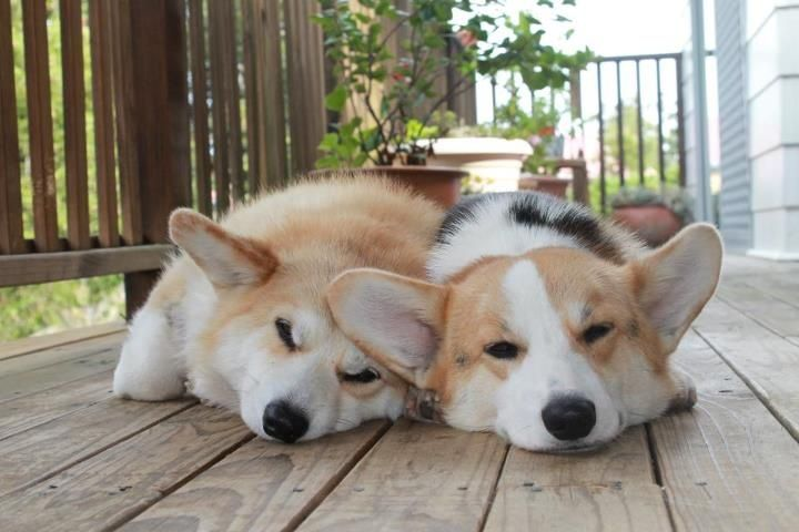 I sleep so much better knowing that my best friend is beside me :) See more #Corgi photos at iLikeCorgis.com - http://bit.ly/1d7TnBv