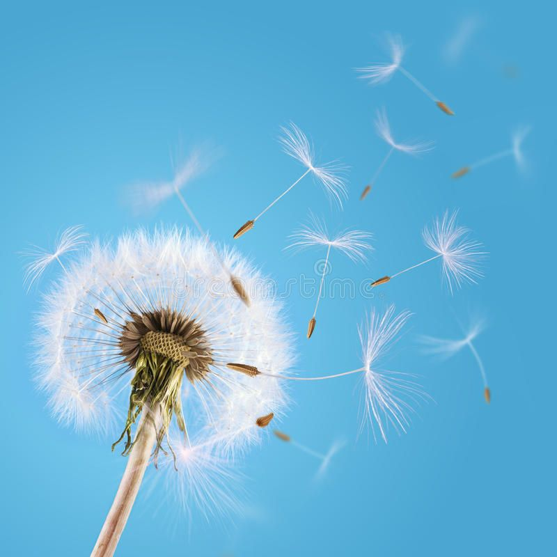 Dandelion Seeds Blown In The Sky Overblown Dandelion With Seeds Flying Away Wit Sponsored Blown Sky Dandeli Dandelion Seed Dandelion Dandelion Flower