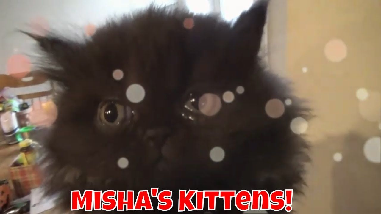 Misha S Kittens Are 7 Weeks Old Rolly Polly Balls Of Fur Kittens Fur Pets