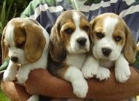 Beagle Puppy Available In Jaipur Beagle Puppy Beagle Dog