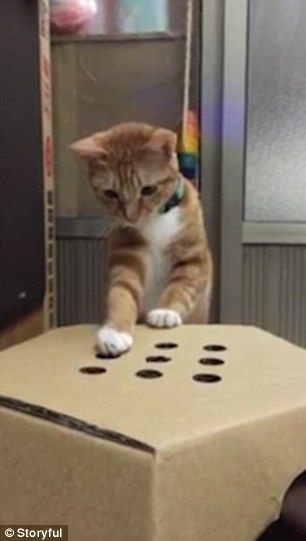The cat's owner holds his hand underneath the box and pops his fingers through the holes at random moments