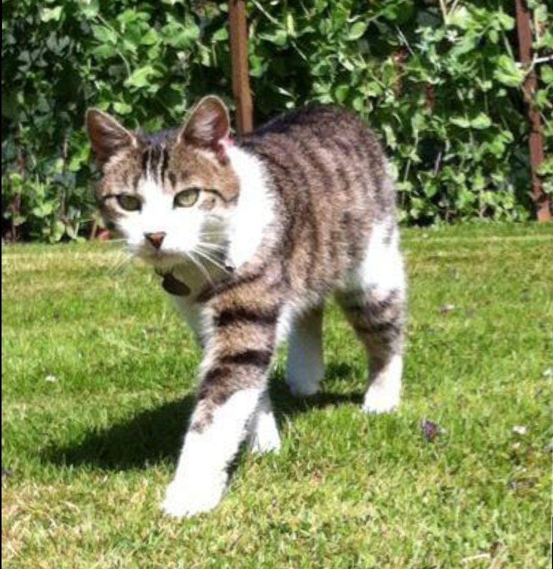 Pin By My Info On Cats Kittens In 2020 Tabby Cat Grey Tabby Cats Tabby