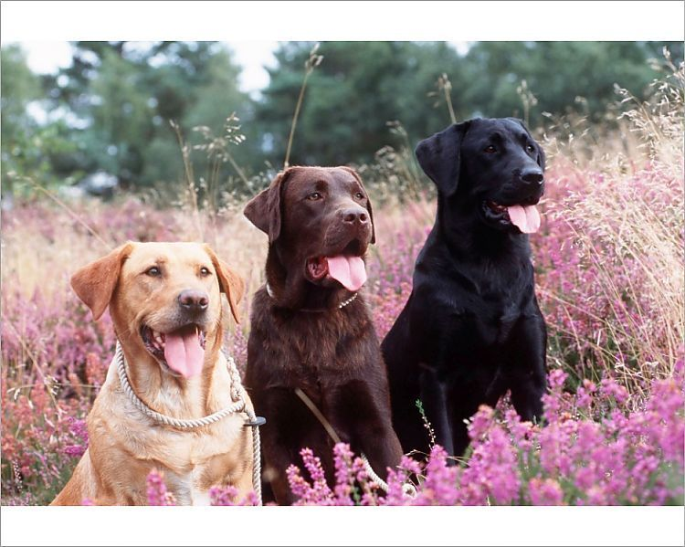 Print Of Labrador Dogs Yellow Chocolate And Black Labradors In Heather In 2020 Black Labrador Dog Labrador Dog Black Labrador