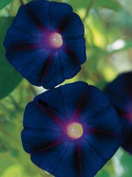 Morning Glory Kniola S Black Morning Glory At Cooksgarden Com Morning Glory Flowers Rare Flowers Pretty Flowers