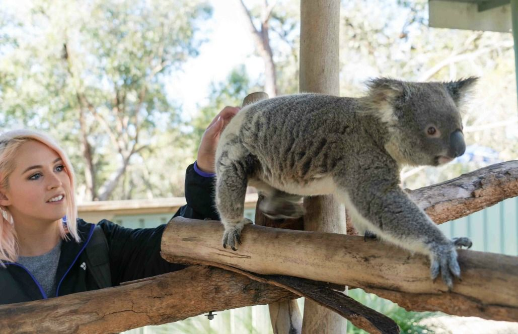 Volunteer With Koalas Kangaroos And More In Australia With Goeco Get Up Close With Amazing Wildli Wild Animal Sanctuary Animal Sanctuary Wild Animal Rescue