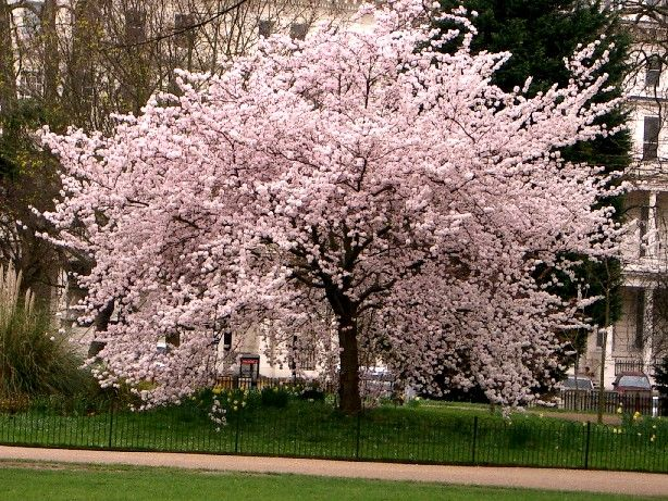 Cherry Blossom Trees In The Spring Japanese Cherry Tree Cherry Blossom Tree Japanese Cherry Blossom