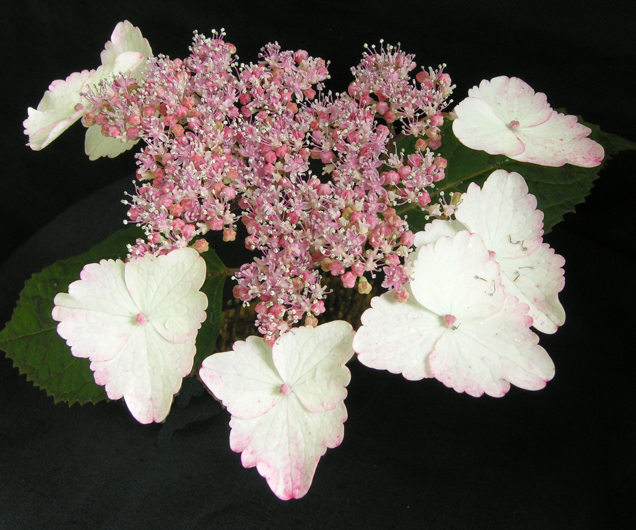Hydrangea serrata 'Beni-gaku'.  A beautiful lacecap hydrangea with lilac fertile flowers surrounded by white ray florets which turn red in sunlight. A Great Plant Picks selection.