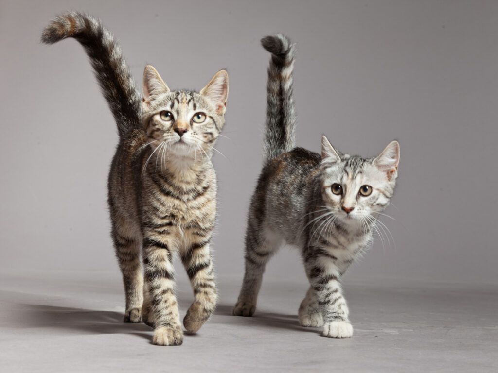 How To Introduce A Kitten To An Older Cat In 2020 Cats Cat Behavior Kitten