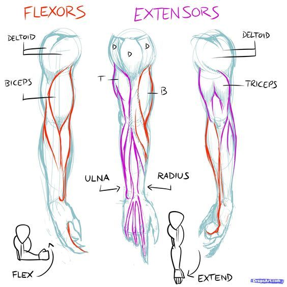 Muscles Line Of Pull How To Draw Muscles Step By Step Anatomy