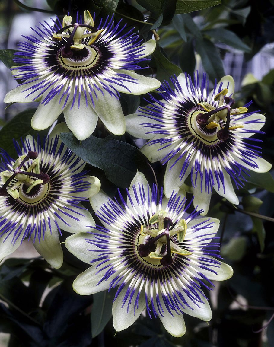 Passiflora Edulis Is The Common Hardy Edible Passion Fruit Vine It Will Produce Very Fragrant Unusual Flow Blue Passion Flower Passion Flower Flowering Vines