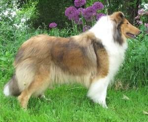 Collies Of Blueharvest Collie Big Teddy Smooth Collie