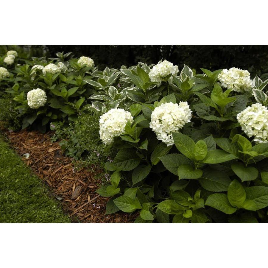 1 Gallon White Hydrangea Blushing Bride Flowering Shrub In Pot Lowes Com In 2020 Flowering Shrubs White Hydrangea Garden Shrubs