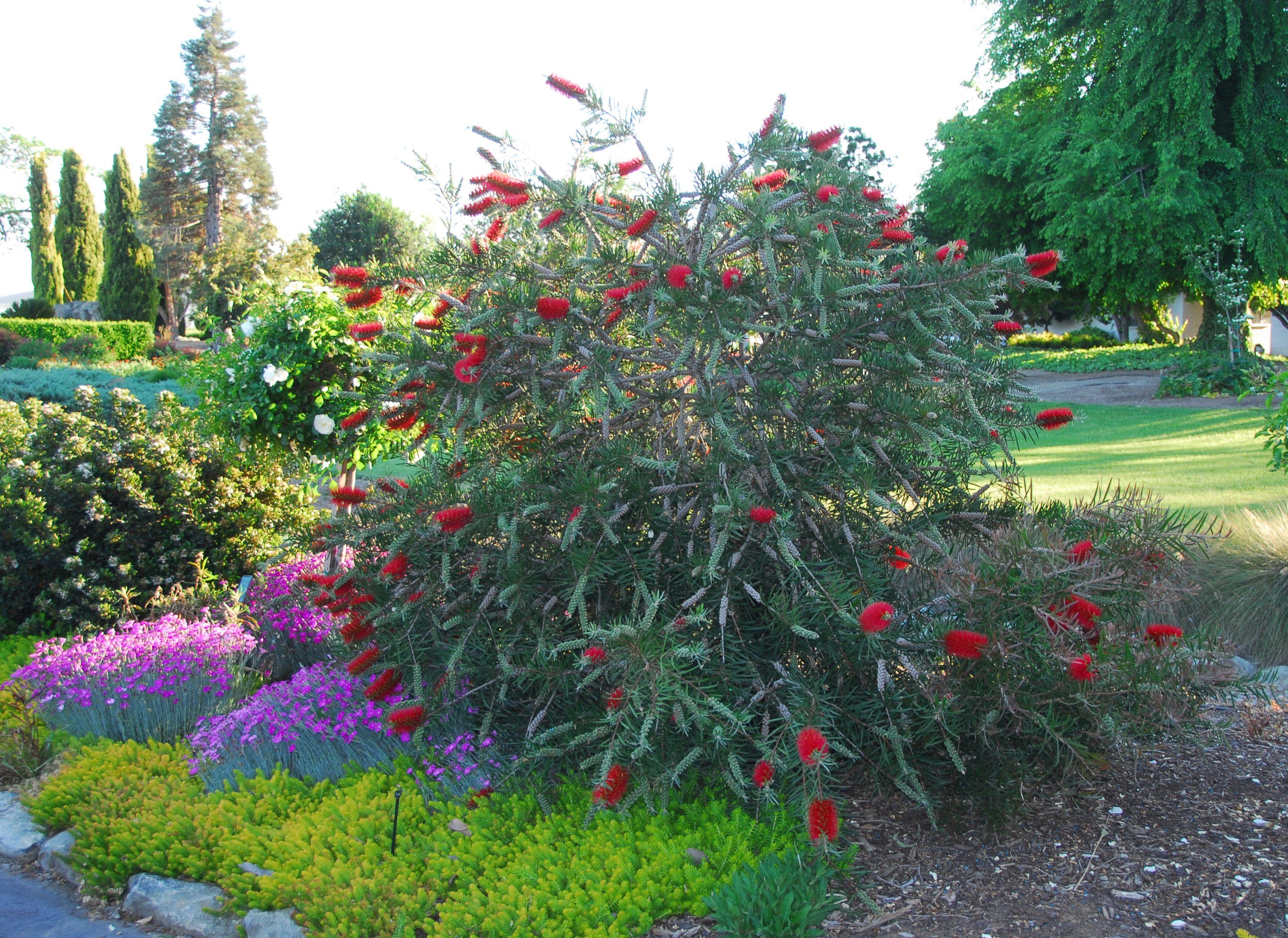 Scarlet Torch Bottlebrush Callistemon Rigidus Compact