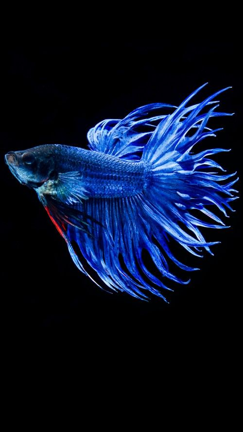 Hd Wallpapers Wallpapers Download High Resolution Wallpapers Hd Wallpapers Wallpapers Download High Resolution Wallpapers Consists Of Nature Wallpapers Fish Wallpaper Iphone Betta Fish Types Fish Wallpaper Betta fish wallpaper iphone fighting