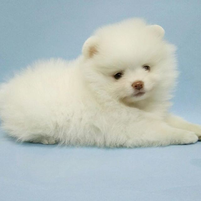 Pomeranian Puppies For Sale Get Pics And Price On Pomeranian Puppy For Sale Pomeranian Puppy Puppies