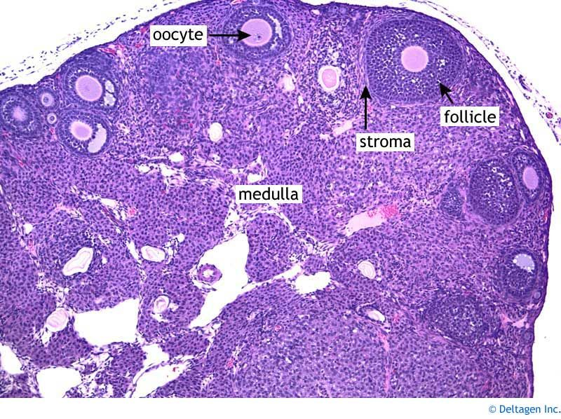 pin by ruby martinez on anatomy 3 histology slides, reproductive