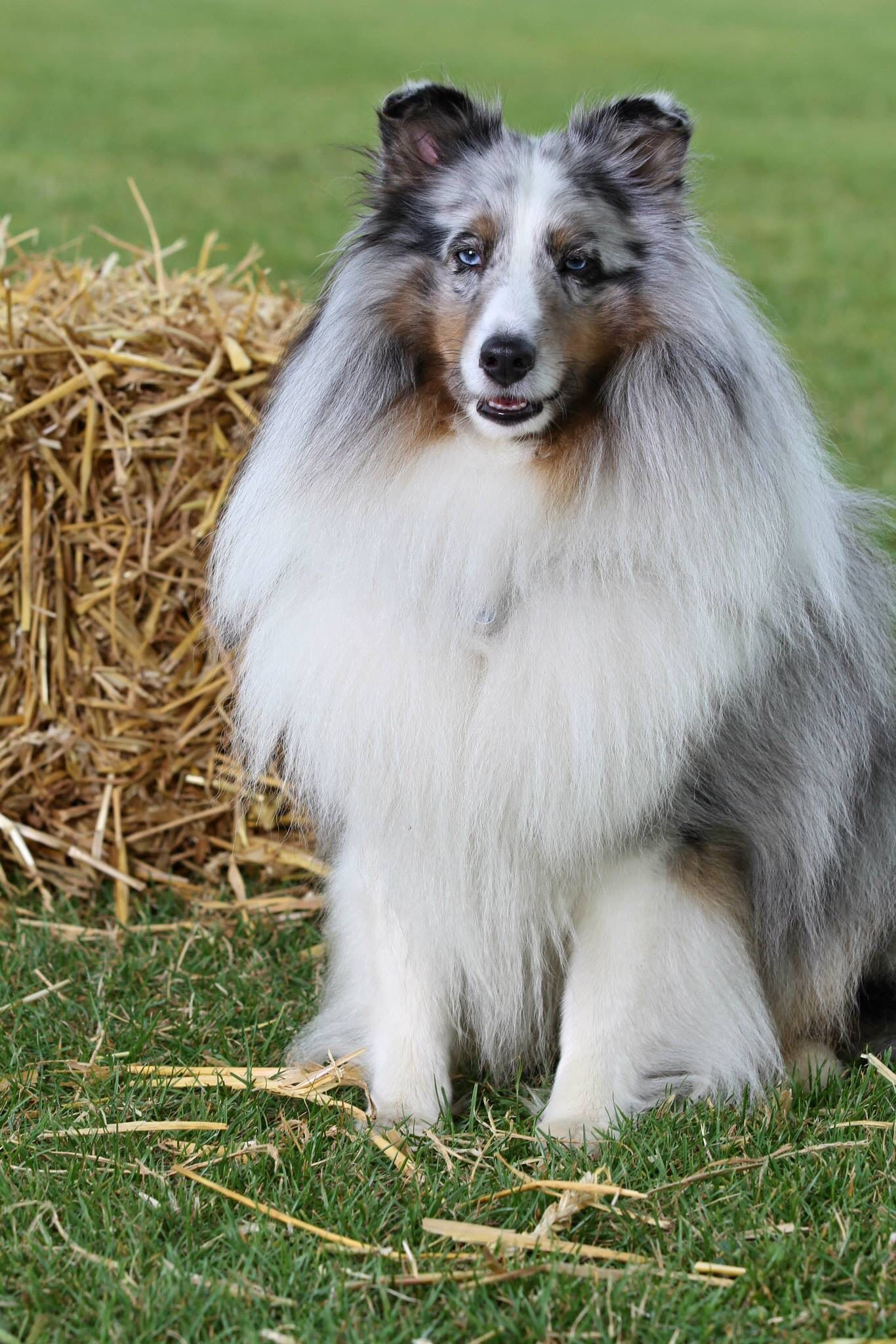Blue Merle Sheltie Shetland sheepdog, Sheep dog puppy