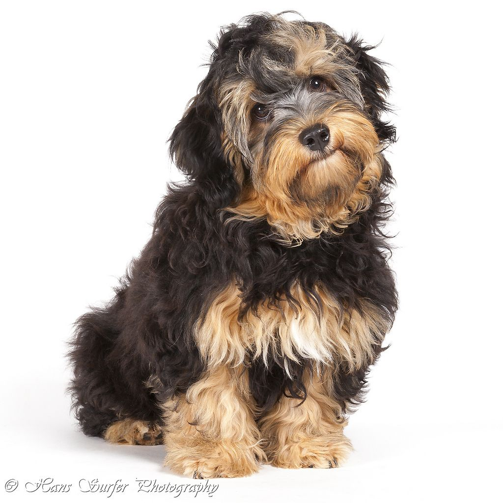 Adorable Havanese puppies for Sale in Wyoming USA