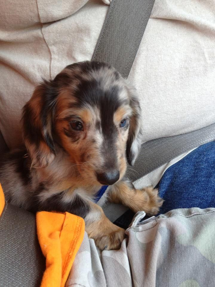 so so darling... - photo found @ I love Dachshunds https://www.facebook.com/photo.php?fbid=3801772296862=p.3801772296862=1