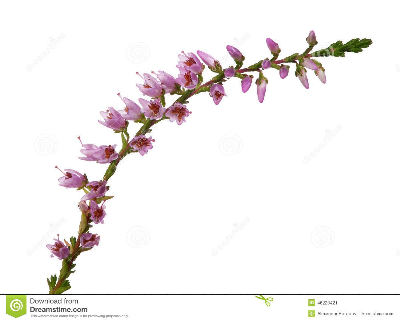 Single Heather Flower Stock Photo Image 58988121 Heather Flower Scottish Flowers Flowers