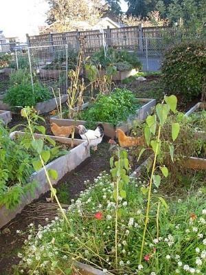 chickens by jeri   ANIMALS--CHICKENS & EGGS   Chicken garden