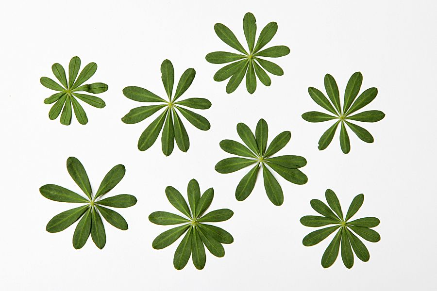 wild lupine leaves  (mary jo hoffman)